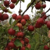apples in Redbyrd's holisticorchard