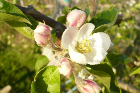 2011 Blossom, Redbyrd Orchard