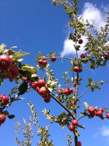 Wickson Crab, Redbyrd Orchard