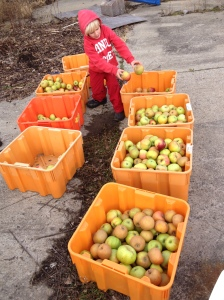 Our little helper, creating the perfect combination of apples for pressing.