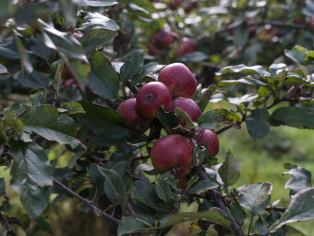 Apples at Redbyrd Orchard Cider's certified biodynamic Newtown Road orchard. Photo Credit: Sherman Thomas