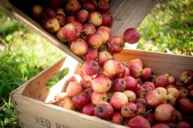 Captured Sunlight at Redbyrd Orchard Cider, certified biodynamic cider apples. Photo Credit: Jason Koski